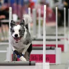 Aces High Flyball Competition - CANCELLED